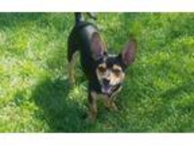 Adopt CRICKET a Black - with Tan, Yellow or Fawn Dachshund / Mixed dog in Inland
