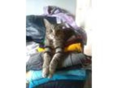 Adopt Oliver a Spotted Tabby/Leopard Spotted American Shorthair cat in Peyton