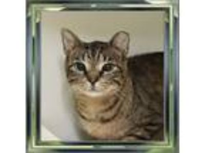Adopt Tippy a Domestic Shorthair / Mixed cat in Raleigh, NC (25844845)