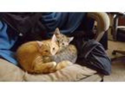 Adopt Copper a Orange or Red Domestic Shorthair / Mixed cat in Saint Charles