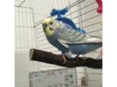 Adopt Periwinkle a Blue Budgie bird in Burlingame, CA (25888657)