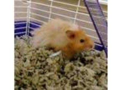 Adopt Daryl a Orange Hamster / Hamster / Mixed small animal in Corvallis