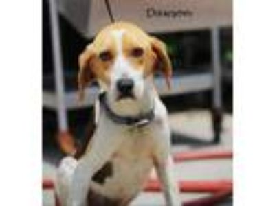 Adopt Dawson a Tricolor (Tan/Brown & Black & White) Hound (Unknown Type) / Mixed