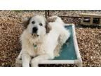 Adopt Butch a Great Pyrenees