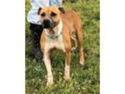 Adopt Folly a Brown/Chocolate - with Black Boxer / Mixed dog in Newberry