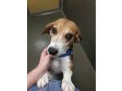 Adopt Miss Morgan a Brown/Chocolate Hound (Unknown Type) / Mixed dog in