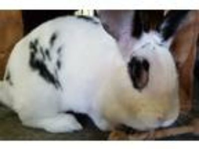 Adopt Kutti a White Checkered Giant / Mixed (short coat) rabbit in Williston