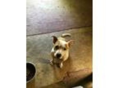 Adopt Jackson/Jax a White - with Red, Golden, Orange or Chestnut Terrier