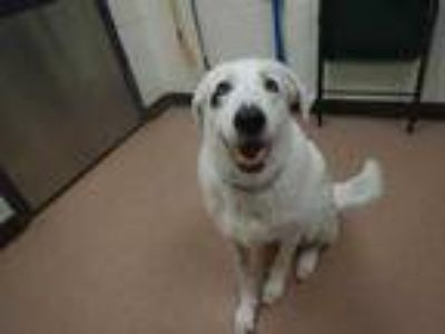 Adopt Marley a White Anatolian Shepherd / Mixed dog in Boulder, CO (25861119)