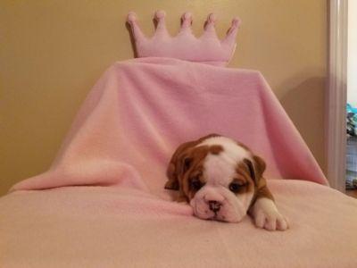 English Bulldogge PUPPY FOR SALE ADN-68838 - AKC English Bulldog Puppies