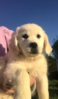 Golden Retrievers Puppies AKC