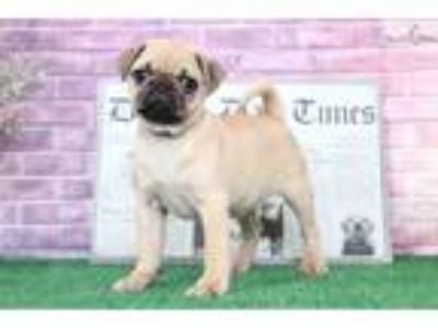 Colby AKC Fun Male Pug Puppy