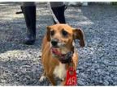 Adopt Ginger a Brown/Chocolate Dachshund / Mixed dog in Fairfax Station