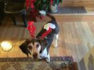Adopt Rudolph a Brown/Chocolate - with White Beagle / Hound (Unknown Type) /
