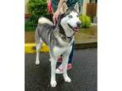 Adopt Dixie a Black Husky / Mixed dog in Corvallis, OR (25271972)