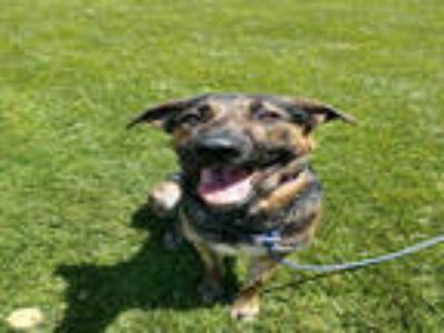 Adopt *LIAM a Black - with Tan, Yellow or Fawn German Shepherd Dog / Mixed dog