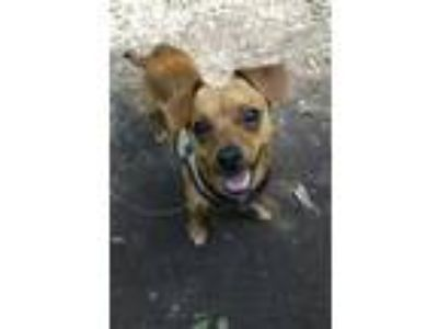 Adopt Paxon a Tan/Yellow/Fawn Rat Terrier / Mixed dog in West Allis