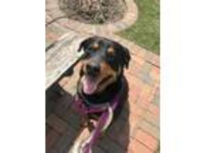 Adopt Molly a Rottweiler, Mixed Breed