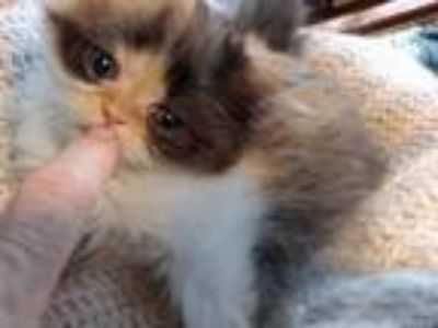 Playful CFA Registered Calico Kitten