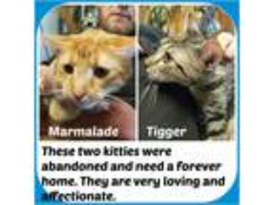 Adopt MARMALADE & TIGGER a Gray, Blue or Silver Tabby American Shorthair (medium