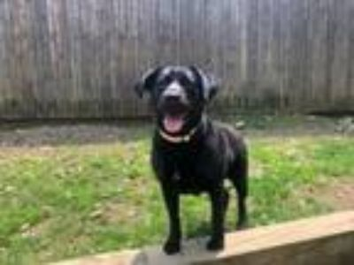 Adopt Rolli a Black Labrador Retriever