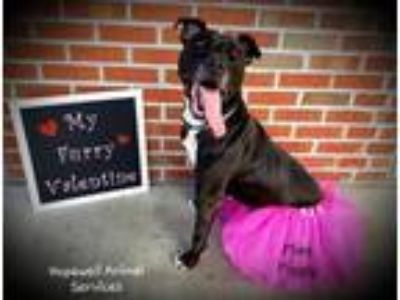 Adopt Miss Piggy in Hopewell VA a Black - with White Labrador Retriever / Pit