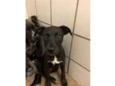 Adopt Austin a Black Labrador Retriever / Mixed dog in Burleson, TX (25924687)