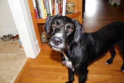 Goldendoodle/German Wirehaired Pointer