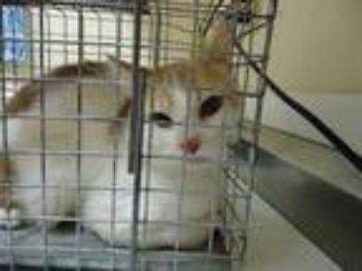 Adopt LEWIS a White (Mostly) Domestic Shorthair / Mixed (short coat) cat in