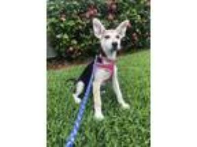 Adopt Mazie Rico a Husky, German Shepherd Dog
