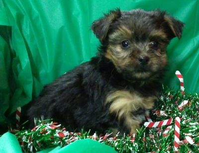 Yorkshire Terrier PUPPY FOR SALE ADN-52067 - yorkie yorkshire terrier puppies 8 weeks Maryland