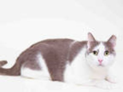 Adopt MOCHI a White (Mostly) Domestic Shorthair / Mixed (short coat) cat in San