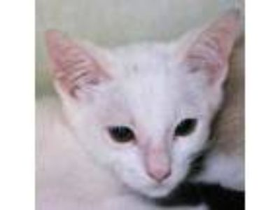Adopt Dash a Domestic Short Hair