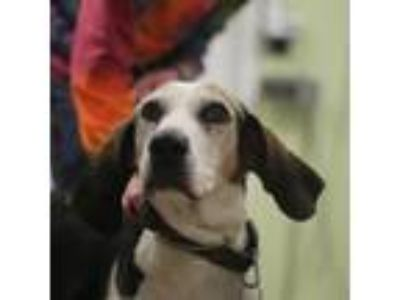 Adopt Beauford T. Justice a Hound, Mixed Breed