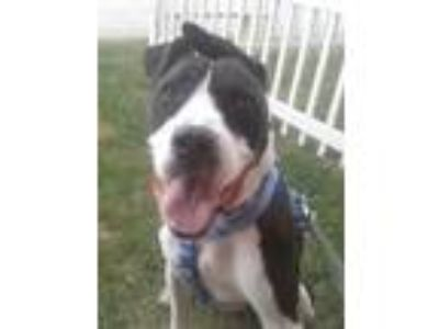 Adopt Archie a Great Dane