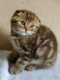 Scottish fold and Scottish straight kittens