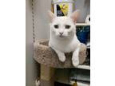 Adopt Yukon a White Domestic Shorthair / Mixed (short coat) cat in Trenton