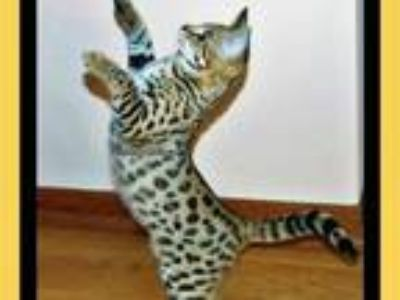 F2 F3 F5 Savannah Cat Kittens