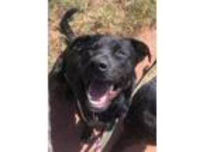 Adopt Abe a Black Labrador Retriever / Mixed dog in Broomfield, CO (25938358)