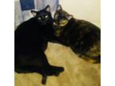 Adopt Luna and Coral a Domestic Short Hair
