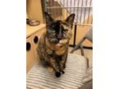 Adopt Squeakers a Domestic Shorthair / Mixed cat in Arlington, WA (25286390)