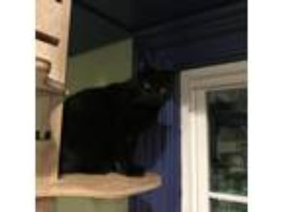 Adopt Momma a All Black Domestic Shorthair cat in Oyster Bay, NY (19220804)