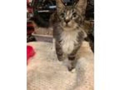 Adopt Tango a Domestic Shorthair cat in Allen, TX (24853492)