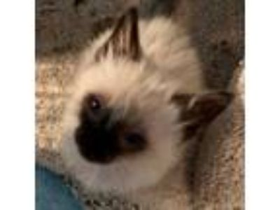 Adopt Brahms a Tan or Fawn Siamese cat in Los Angeles, CA (25313173)