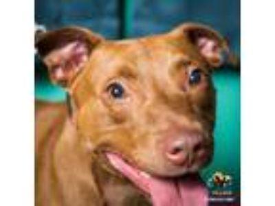 Adopt Presley a Chocolate Labrador Retriever, Pit Bull Terrier