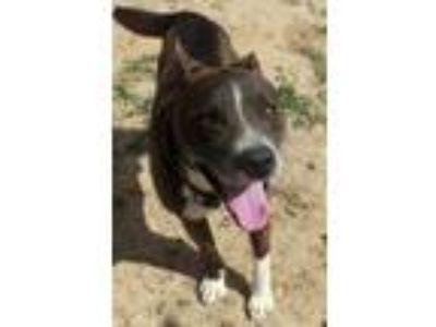 Adopt Weiland a Brindle - with White Akita / Labrador Retriever / Mixed dog in