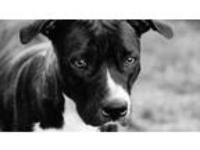 Adopt Jill a Brindle American Pit Bull Terrier dog in Bullard, TX (25793432)