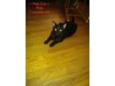 Adopt Man Cub a Black (Mostly) Domestic Shorthair / Mixed cat in Orange City