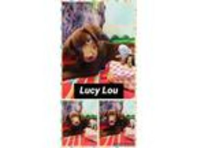 Adopt Lucy Lou a Brown/Chocolate Labrador Retriever / Mixed dog in Ringwood