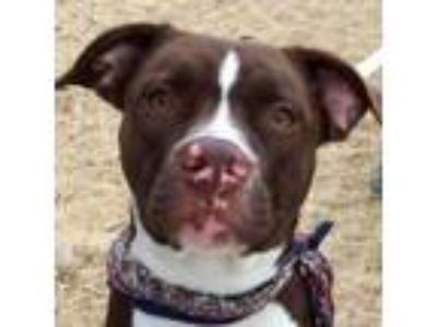 Adopt Hershey a Brown/Chocolate American Pit Bull Terrier / Mixed dog in West